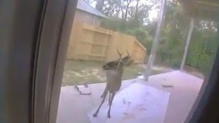 Олень пытается показать семье что-то на заднем дворе - когда они видят это, то звонят в полицию.