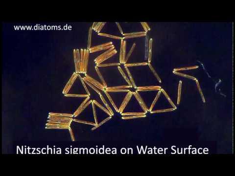 Nitzschia sigmoidea on Water Surface