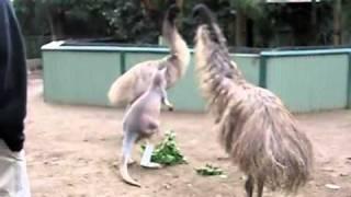 Кенгуру против страуса.flv