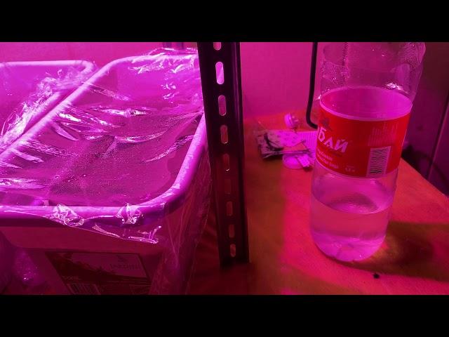 фито светильника 50w - первые результаты работы уже через 2 дня после высадки семян огурца в грунт.
