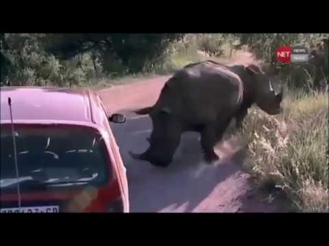 Rhino Attack, Rhinoceros attacking cars