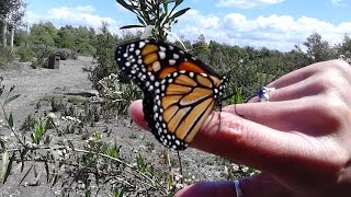 Milkweed Seed Bomb Making for Monarch Butterflies - by Ironhunt