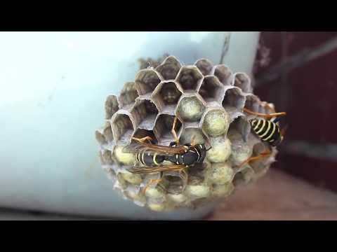 Жизнь осы. Как оса строит гнездо. Скорость 1/12.