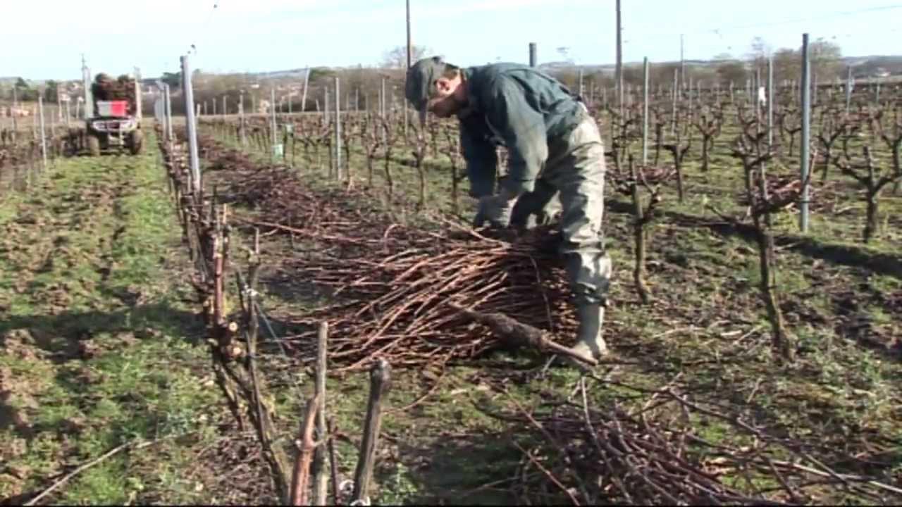 p pini res viticoles morin plantation de plants de vigne taille greffage par vinim dia youtube. Black Bedroom Furniture Sets. Home Design Ideas