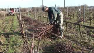 Pépinières Viticoles Morin - Plantation de plants de vigne, taille, greffage par Vinimédia