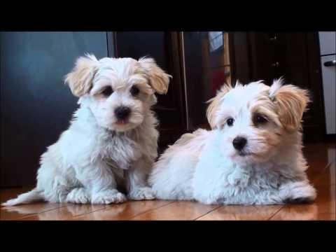 Coton de Tulear puppies for sale March 24, 2014