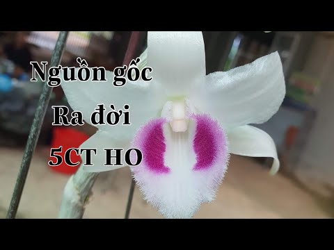 5CT HO (Hiển Oanh) nở lại và nguồn gốc tiểu sử ra đời của hoa lan đột biến 5CT HO