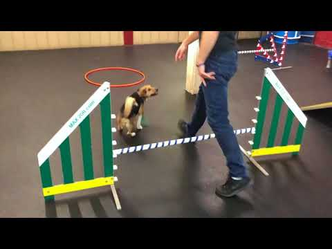 7 Tips and Tricks for Agility Training with Your Dog! (Agility Training with Chai)