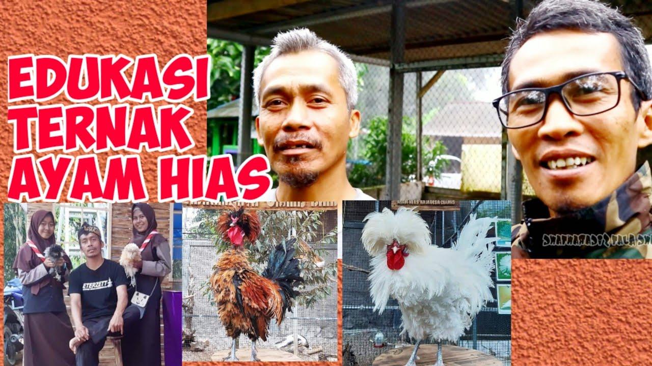 Cara Beternak Ayam Hias Rajadesa Ciamis - Ayam Silangan ...
