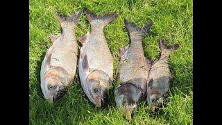 ТОлстолоб в начале Лета Рыбалка Мечта Набомбили Лобатого