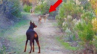 Вот что Бывает Когда Доберман Встречает Диких Животных