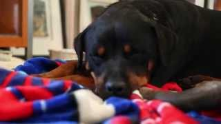 Day One With My Rottweiler Foster I Named Freya, Poor Little Girl Is Broken And Scared Soul