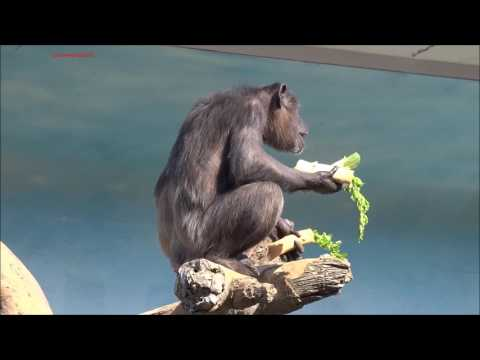 Feb 2017 Chimps at Osaka Tennoji Zoo