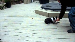 Rudy, The Boston Terrier, Continues To Practice Obedience Training