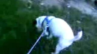 Jack Russel Terrier Peeing and Walking on Two Feet