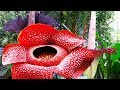 Largest Flowers In The World | Amazing Nature |