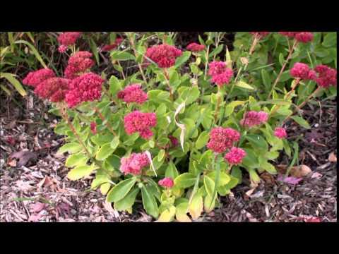 Sedum spectabile - Showy Stonecrop