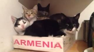Армянские коты
