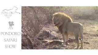 Male lion trying to drag giraffe carcass at Pondoro