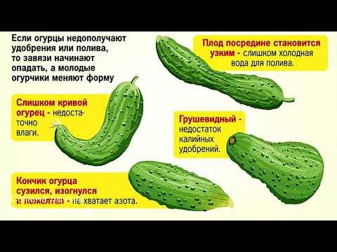 Почему огурцы растут крючком?