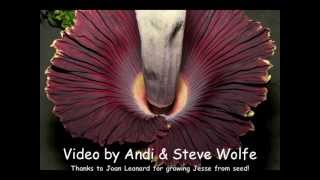Giant Corpse Flower bloom - time lapse from two views