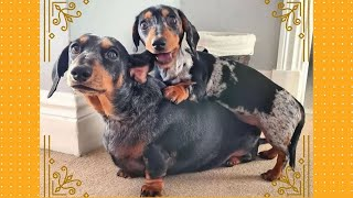 Funny Dachshund Videos, Sausage Dogs Around The world Cute Dachshund Puppies Videos IG Compilation.