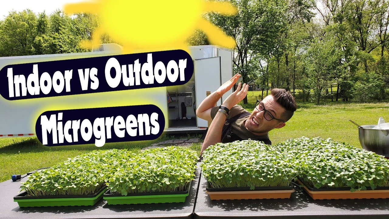 Indoor Vs Outdoor Microgreens Daikon Radish Youtube