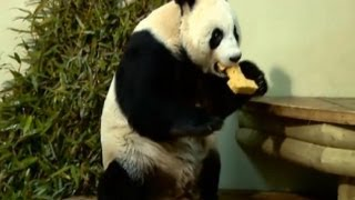 Edinburgh Zoo pandas Celebrate one year in Scotland