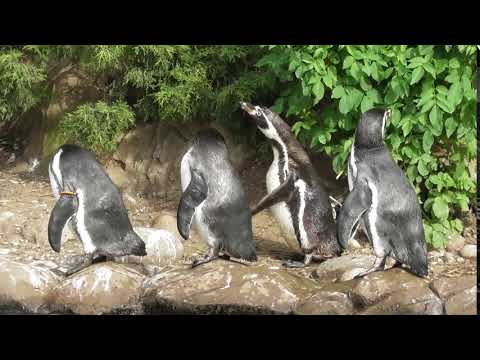 Twycross Zoo - Penguin power
