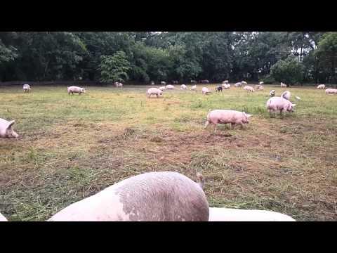 การเลี้ยงหมูตามธรรมชาติ  ...สามพรานฟาร์ม