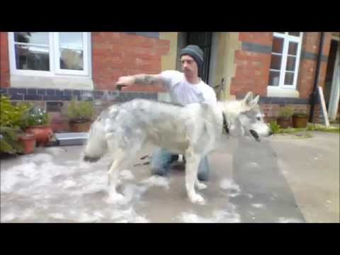 The Joys Of Owning A Direwolf (Northern Inuit)............ DSNERV