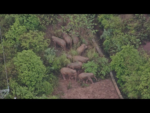 Live: Wild Asian elephants continue their journey in SW China, where are they now?
