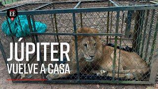 Júpiter, el león maltratado, regresó a Cali - El Espectador