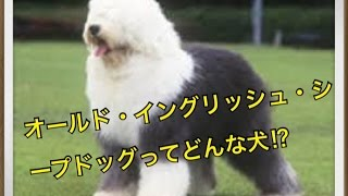 ットで犬を飼おうと迷っている方へ〜オールド・イングリッシュ・シープ...