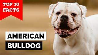 American Bulldog  Top 10 Facts
