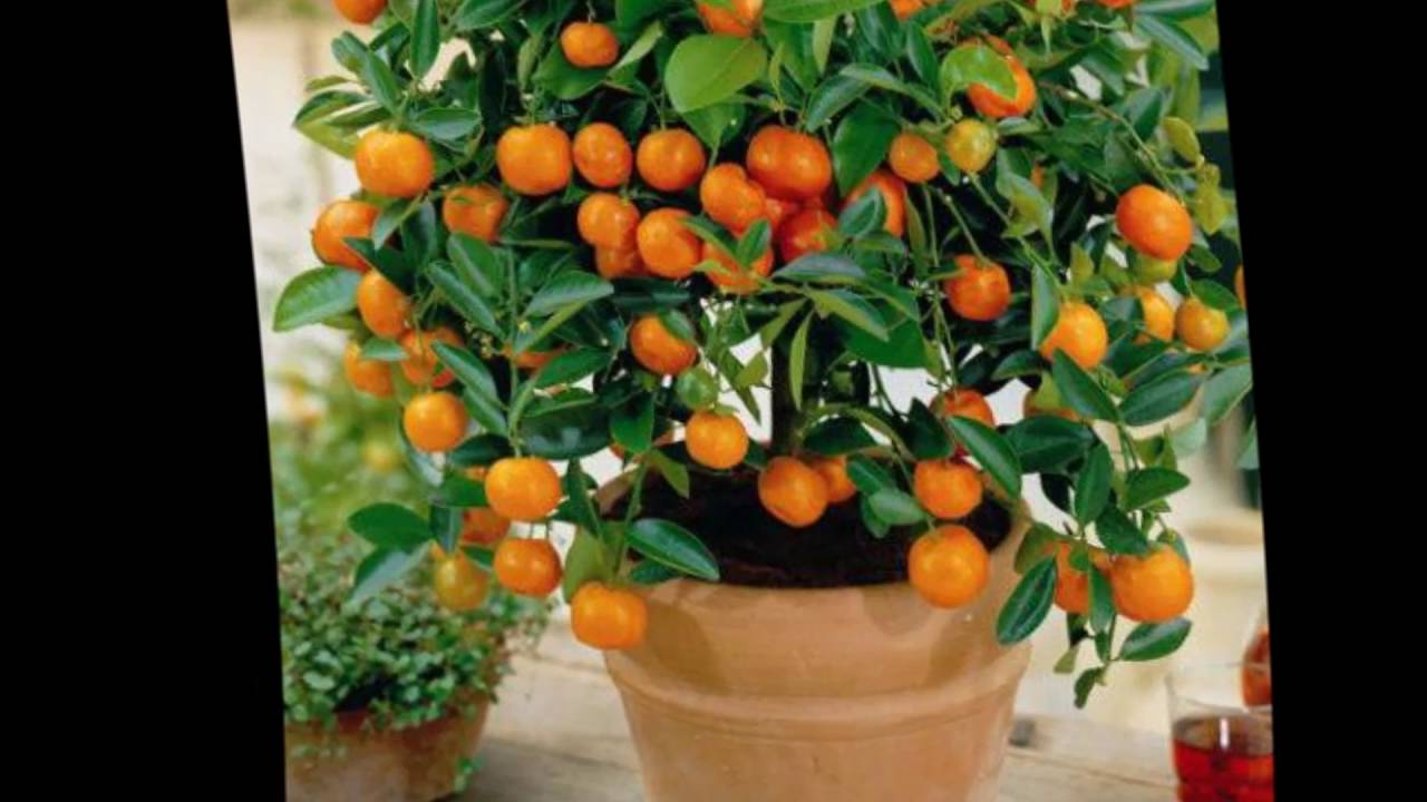 Условия для выращивания апельсинов 435