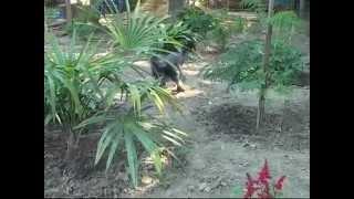 Щенки китайской хохлатой собачки