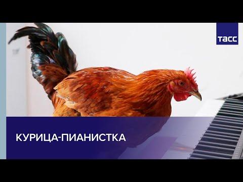 Курица-пианистка из Китая
