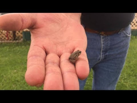 How To Get Rid Of Frogs In Backyard how to drive the frogs out - youtube