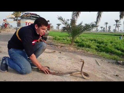 اصعب عملية صيد لأفعى  كوبرا مصرية  كادت أن تقتل شخصين من قبل  مع احمد الدكرونى