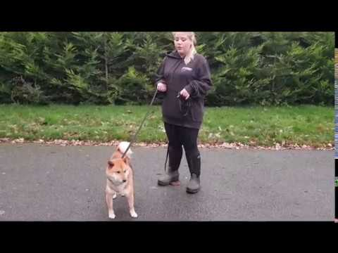 Shiba Inu Transformation | London Dog Training