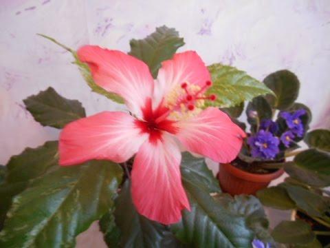 Гибискус пестролистный: условия выращивания и методы