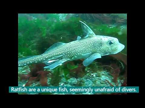 Fish In The Elwha Nearshore Zone