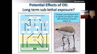 """Download Migratory birds (""""Birds & Oil Spills"""" seminar – Jessica Renee Henkel)"""