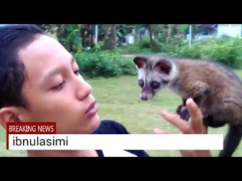 """""""Muspan bonding Roky """" Cara melatih musang pandan, bonding dengn tehnik tinggi"""