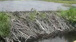 Damn Big Beaver Dam