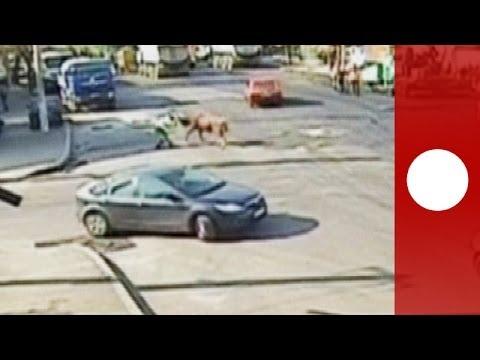 Un taureau déboule en pleine rue et charge un agent de circulation en Roumanie -- vidéosurveillance
