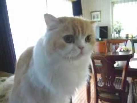 しゃべる猫マーヤ