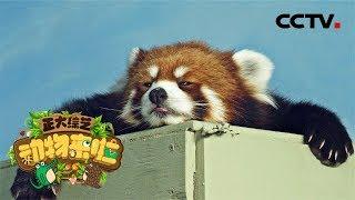 [正大综艺·动物来啦]判断题 小熊猫可以通过舌头感知到天敌的气味| CCTV