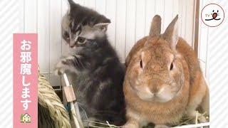 うさぎさん🐰のお家に遊びにきた子猫ちゃんだけど…🐱【PECO TV】